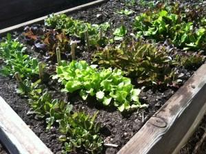 Cold Frame Lettuce
