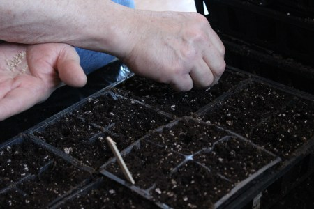 Planting black cherry tomato seeds from the Raíces seed library