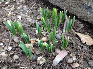 Daffodil shoots emerging