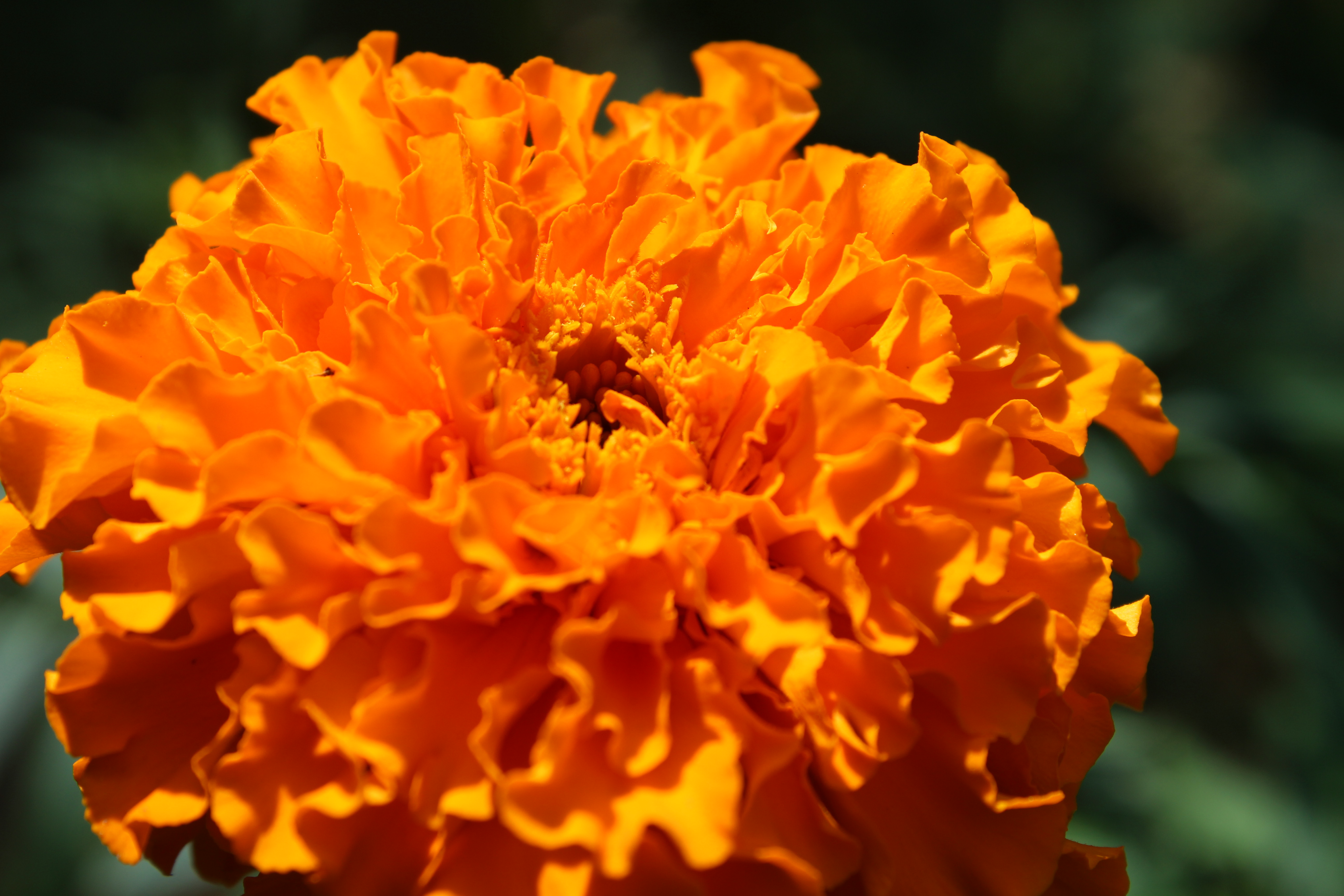 New Marigold Flowers for Sale