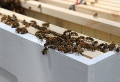 Honeybees, being introduced to their new home