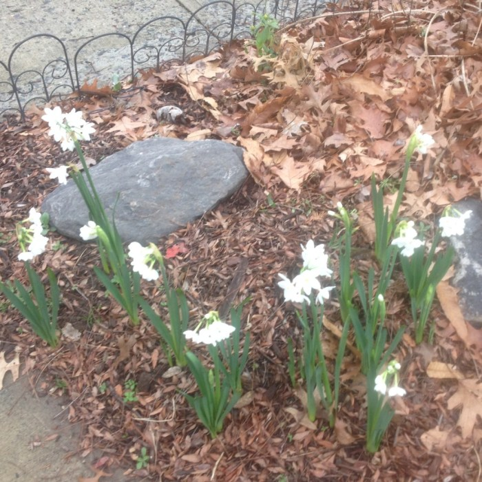 Daffodil Patch In Bloom - December 27, 2016