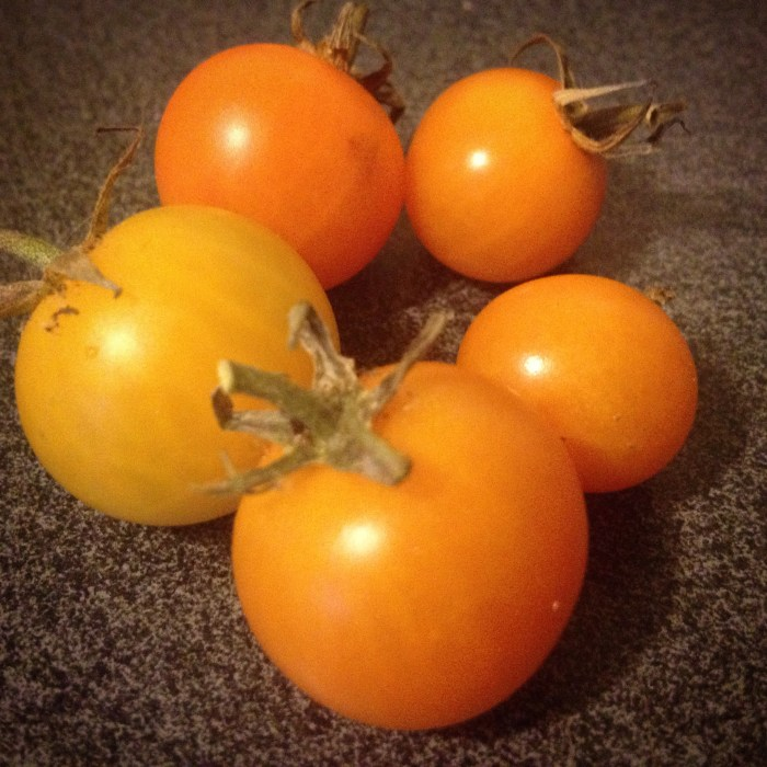 Christmas Tomato Harvest