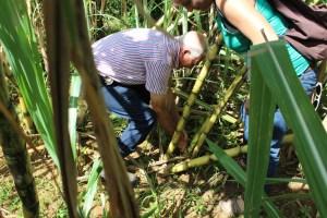 ls-sugarcane