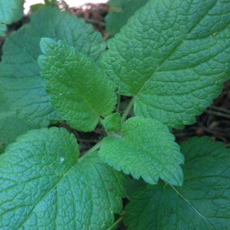 Lemon Balm, a useful herb that makes a delicious tea for break time on work days.
