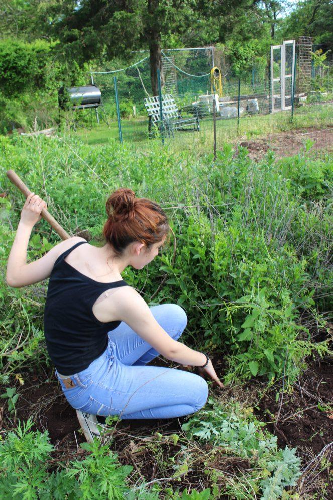 Digging up herbs.