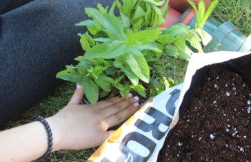 Repotting mint.