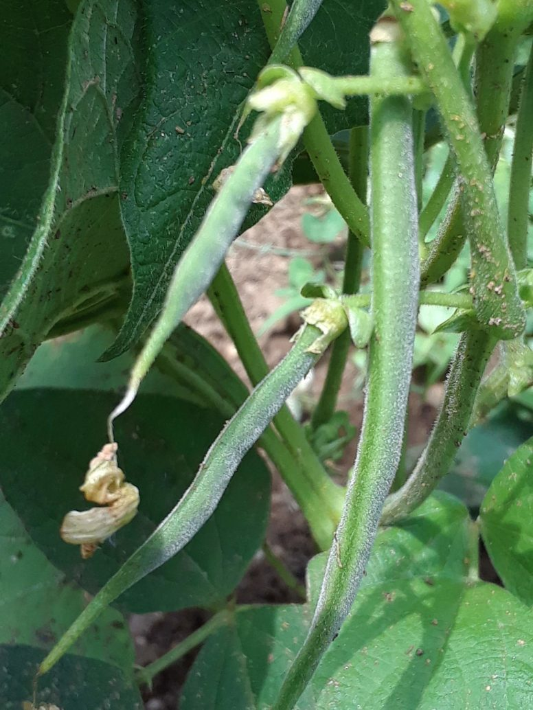 The first bean pods forming!
