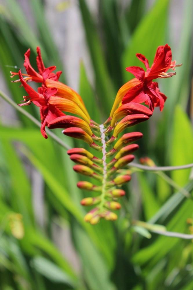 Lucifer plant