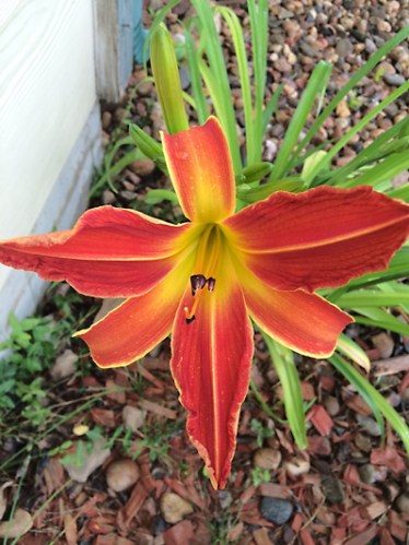 Another Lilly