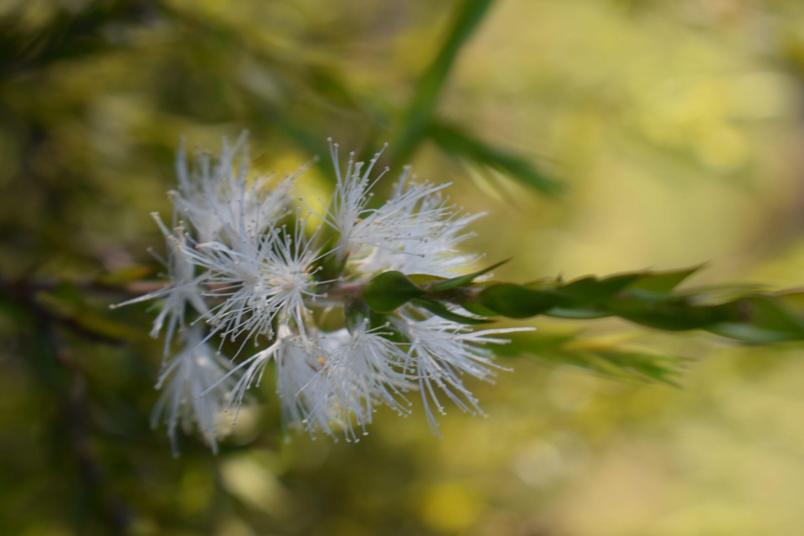 A Tea Tree flower
