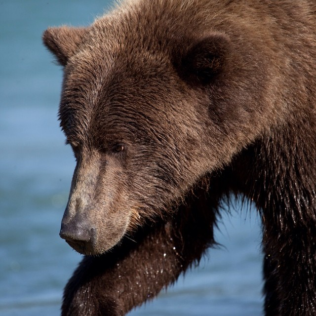 Head shot of a beautiful grizzly bear striding along in BC