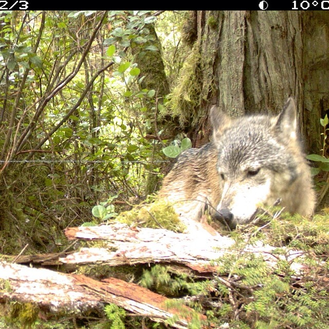 Curious visitor, wolf