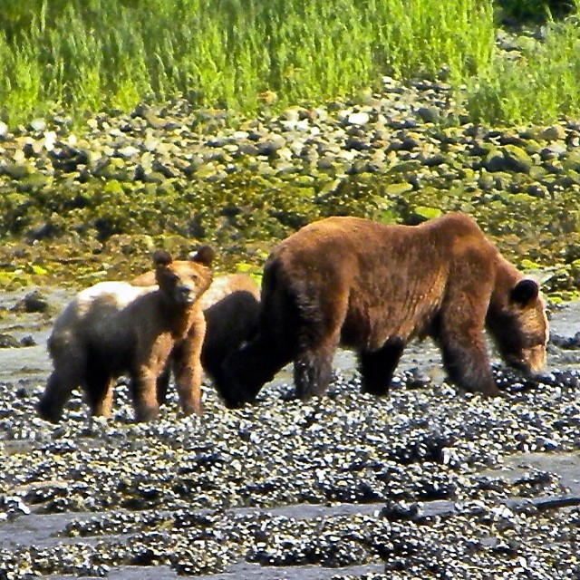 Grizzly bear family in Heiltsuk territory