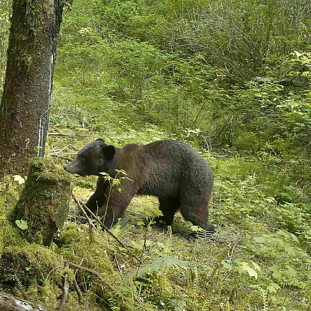 Grizzly bear on all fours sniffs and investigates a tree popular for rubbing backs outside Wuikinuxv village