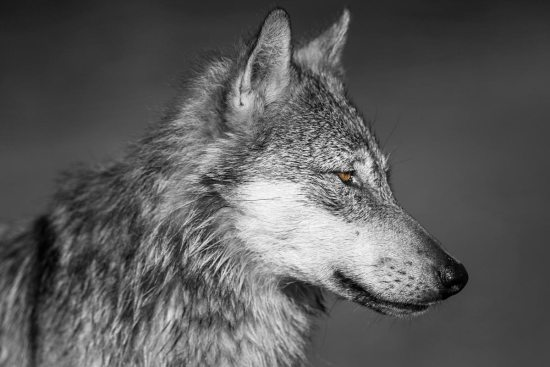 A coastal wolf sits still watching.