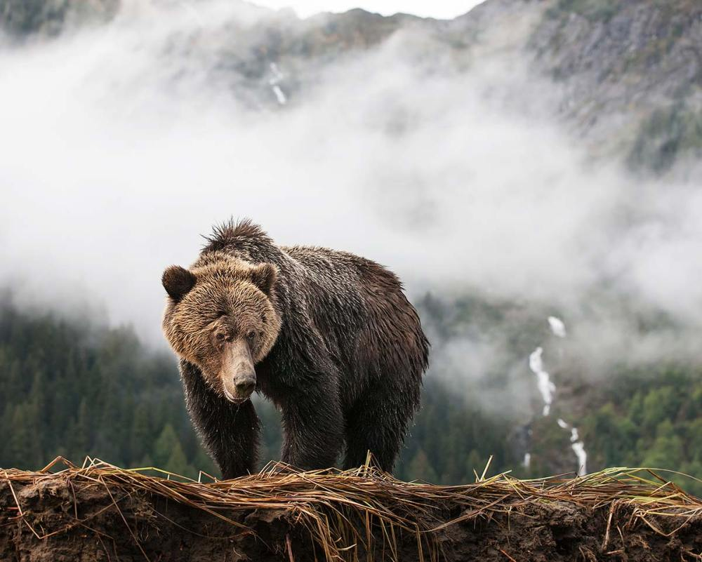 Grizzly in the Mist