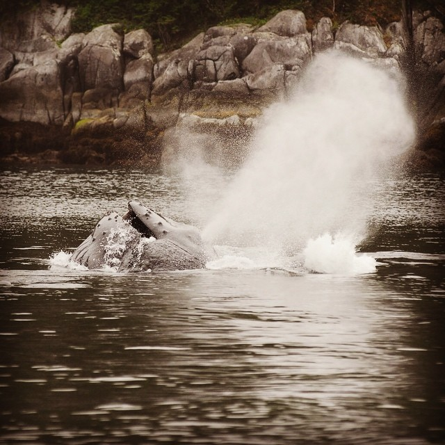 sepia toned picture of a humpback whale lunging and feeding with a great spray of water
