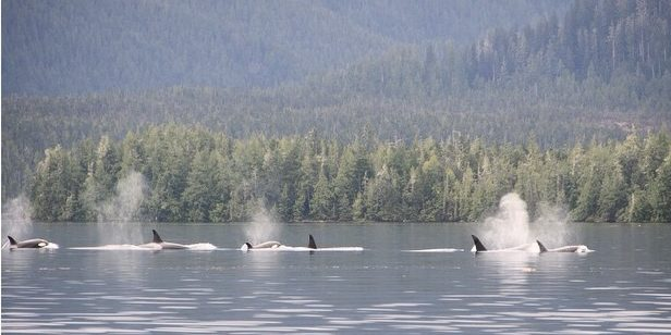 Orcas near Bella Bella