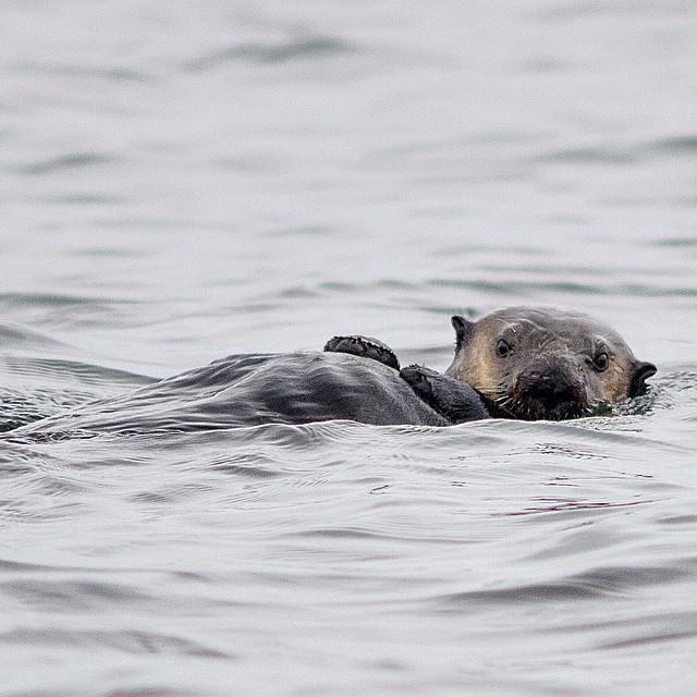 Sea otter surprise