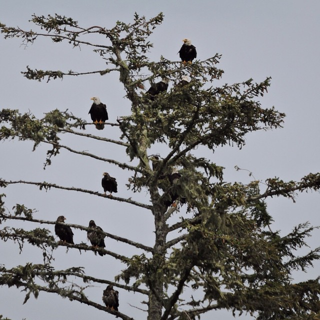 more than half a dozen bald eagles perched on various branches of a tree