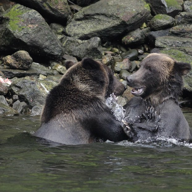 Watched these grizzlies play fight all morning