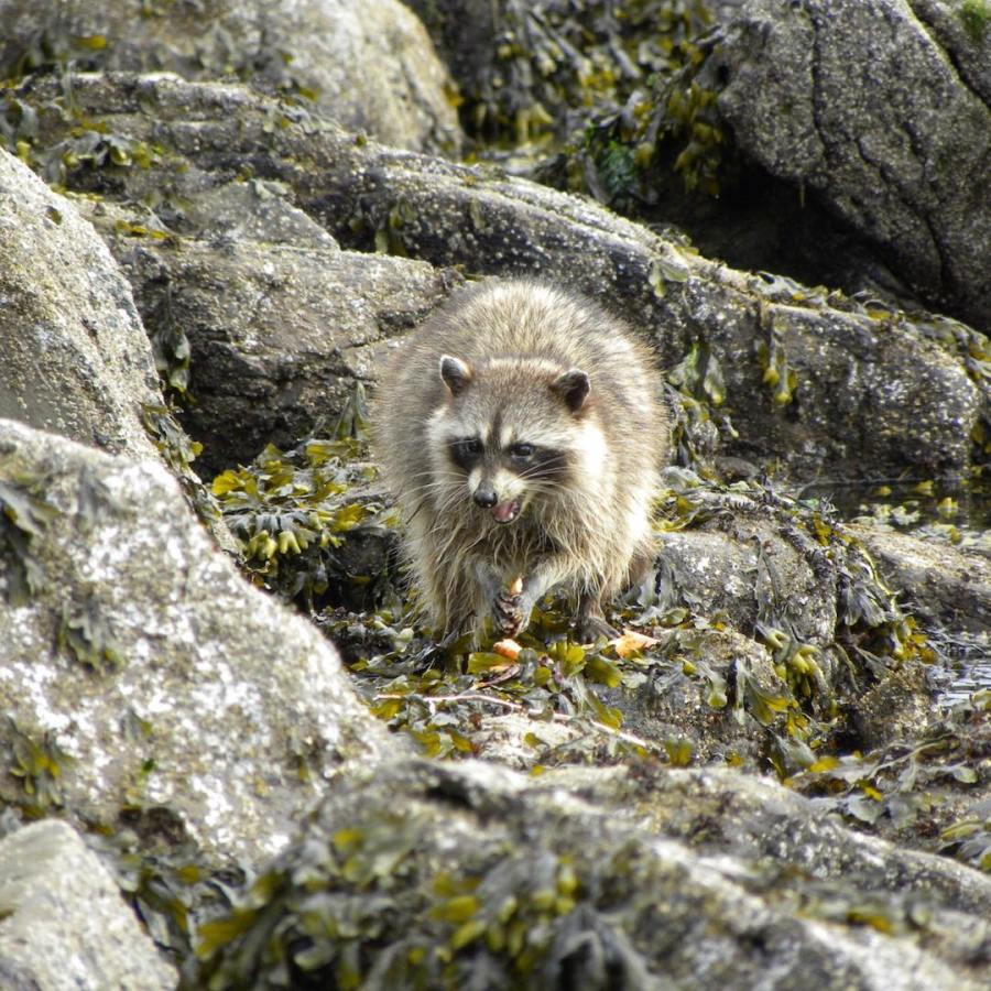A Raccoon walks down a rocky hilly area