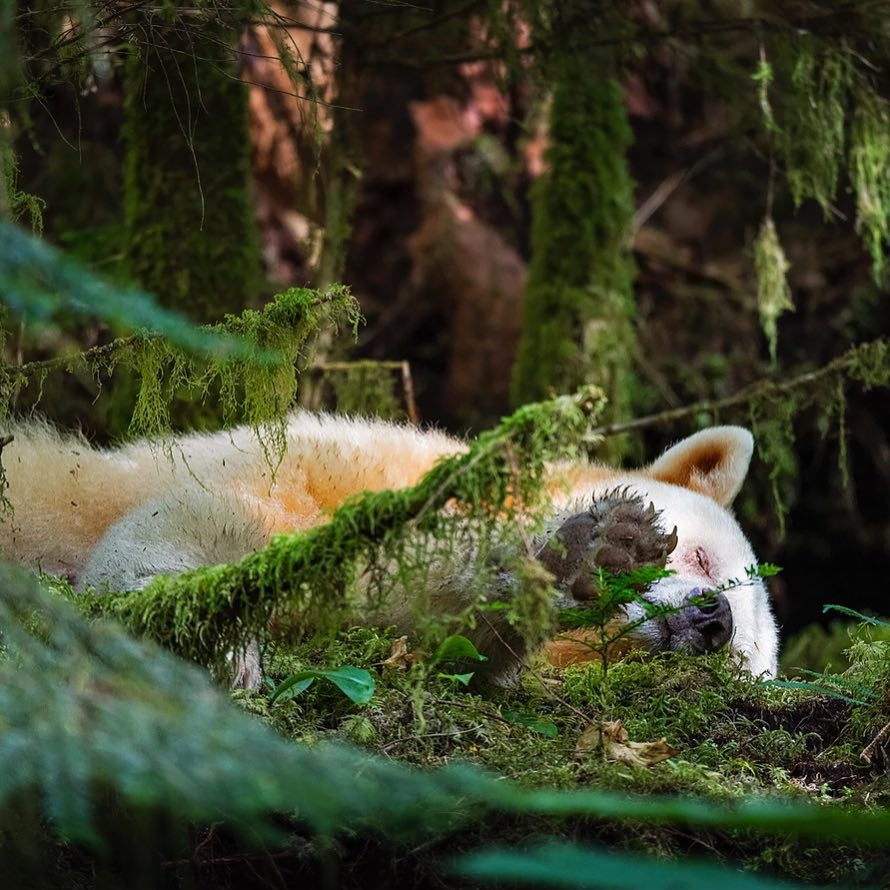 A white bear lies down on it side and takes a rest in the mossy forests of the Great Bear Rainforest.