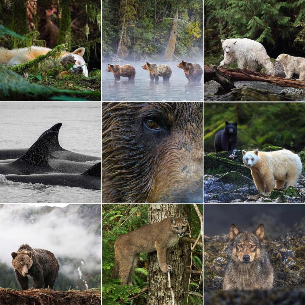 From Spirit bears and grizzlies to cougars and killer whales 2018 has been a year...