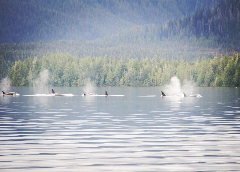 Killer whales near the Nathan E Stewart oil spill