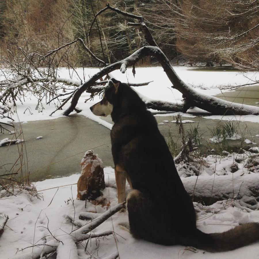 Raincoast dog Atticus ponders the change of seasons while sitting on snow beside water in the Southern Gulf Islands