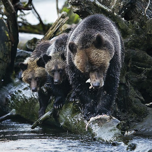 Four bears stand on a log in a row looking for fish in the water under the log.