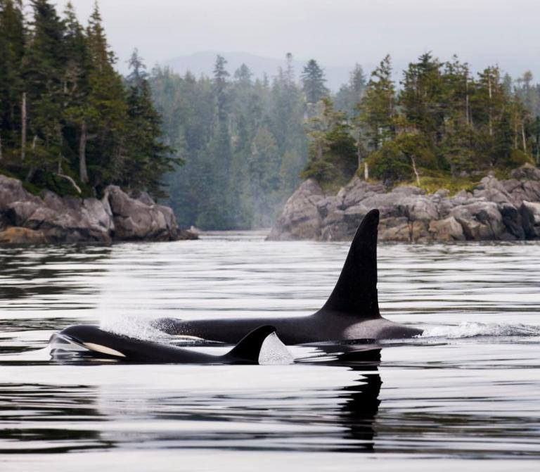 Lucky is the new calf born to the endangered Southern Resident killer whale population