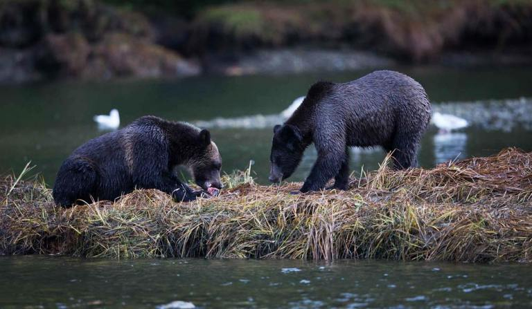 Join us in capturing (great photographs) of grizzlies