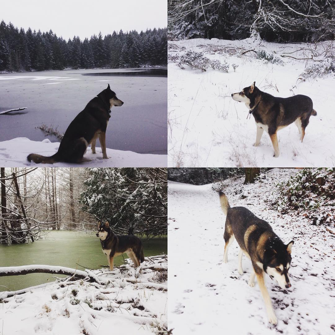 Atticus the Raincoast dog, a beautful husky poses in the snow exploring footprints and a stream in the Southern Gulf Islands in a collage of four photographs