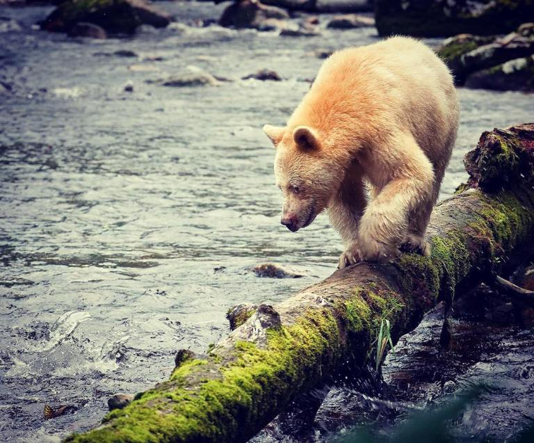 Celebrate World Wildlife Day – Protect Spirit Bears