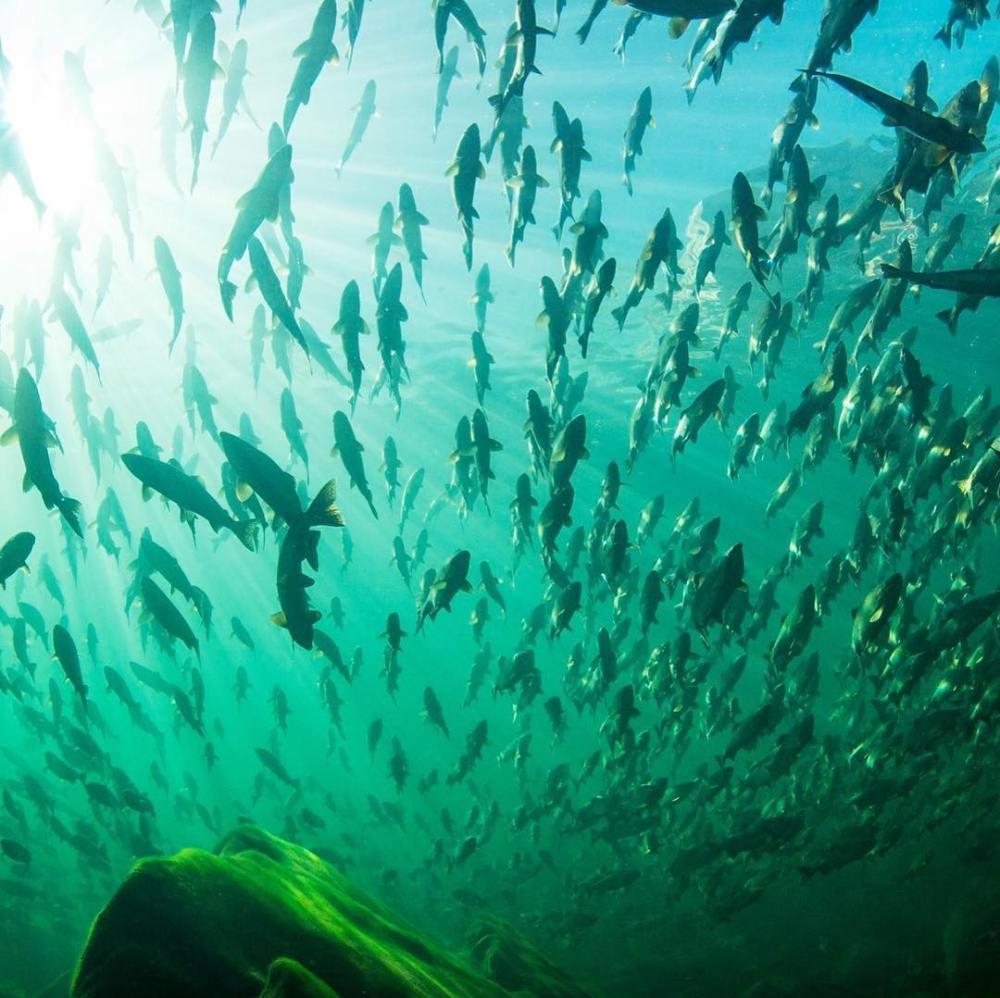 Celebrate wild salmon conservation at Patagonia Vancouver tomorrow night
