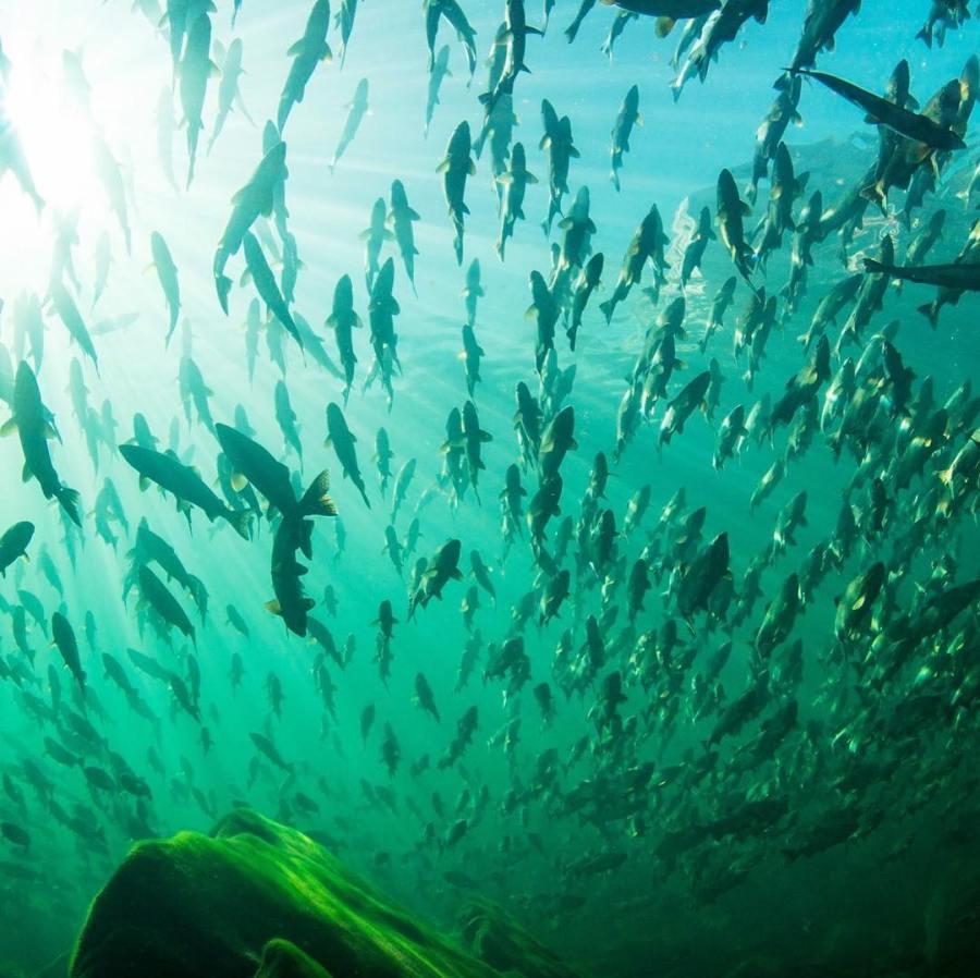 school of wild salmon seen as dark streaks before background of green lit water