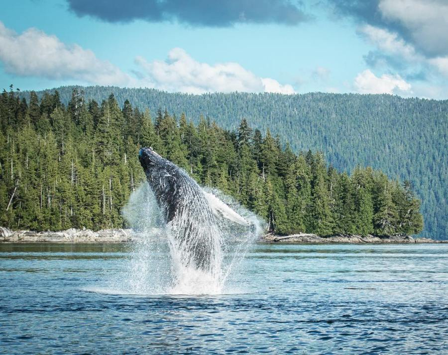 Humpback whale breaching in BC waters