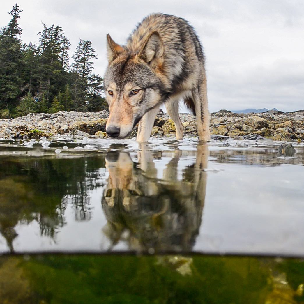 A beautiful tan wolf drinks water with its reflection visible in the Great Bear Rainforest.