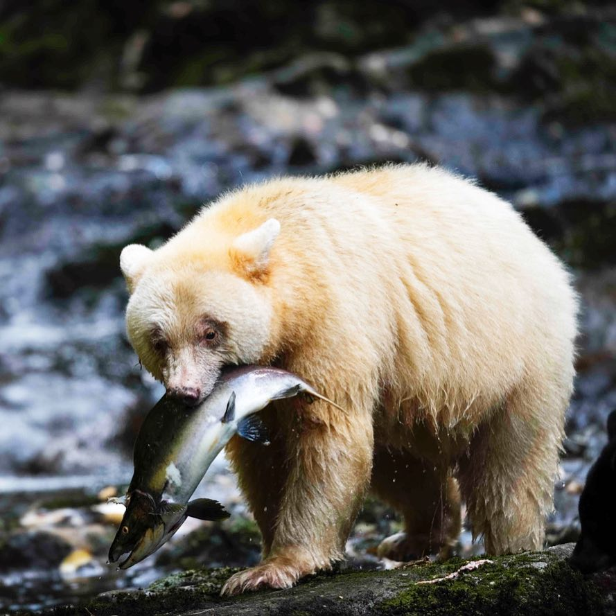 A spirit bear with a big wild salmon hanging from its mouth