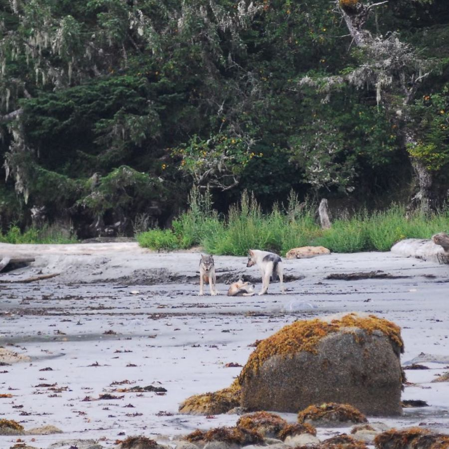 Three white and grey coastal wolves on a wet sandy beach in front of a dense forest.