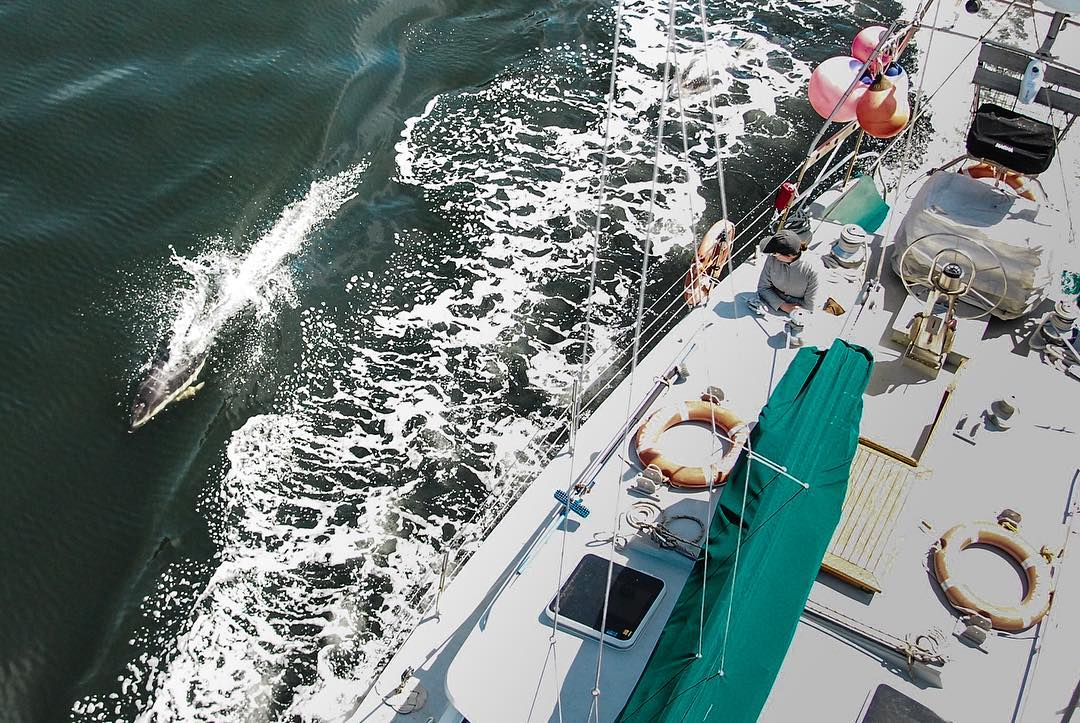 Arial shot of white sailboat deck with a porpoise swimming alongside it on the left.