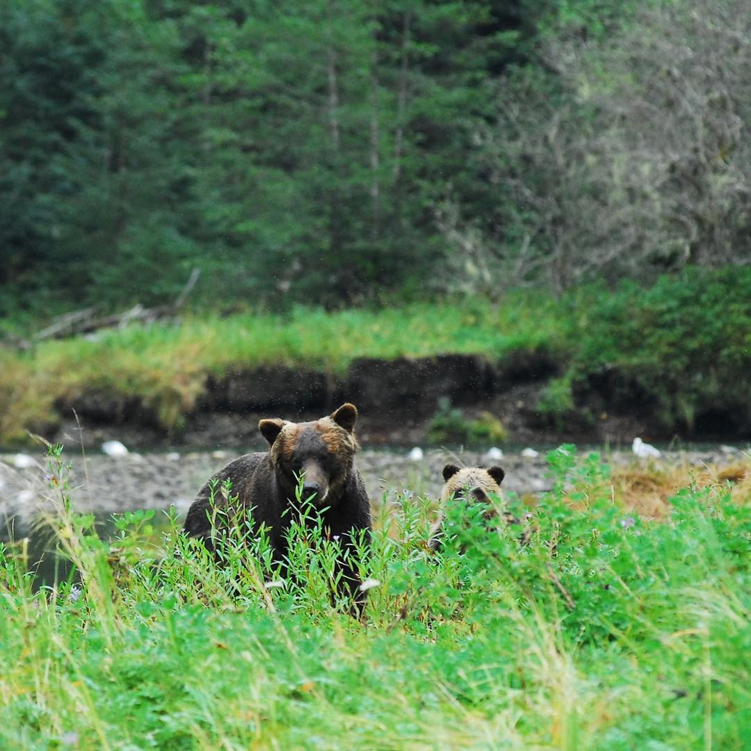 Two grizzly bears peek through tall green grass with a rocky beach and forest in the distance.