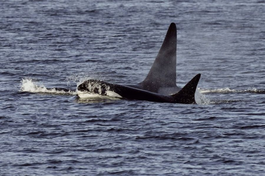 Two orcas with their dorsal fins above the water and part of the head of the one closest to the camera also visible.