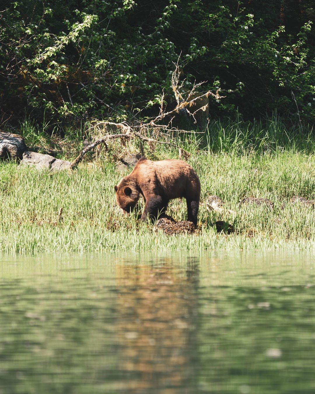 Still water in the fore ground with a grizzly bear standing on the grassy shore in the midground and forest behind.