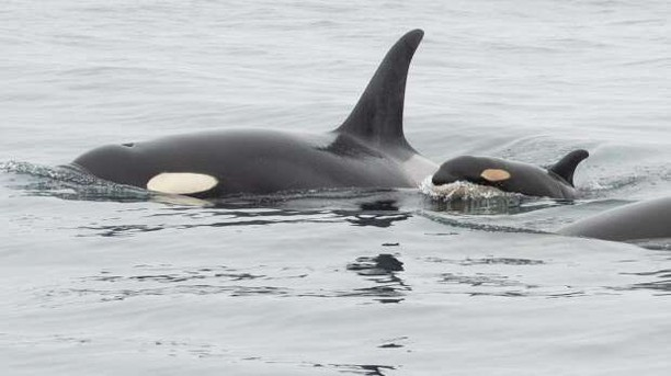 A new Southern Resident Killer Whale
