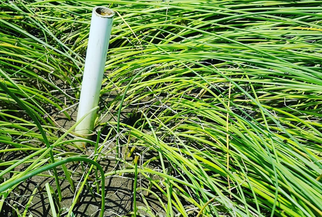A white metal pipe stands amid green beach grass.
