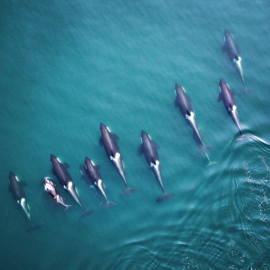 Aerial view of nine adult orca whales and one juvenile swimming spread out in a line in blue green water