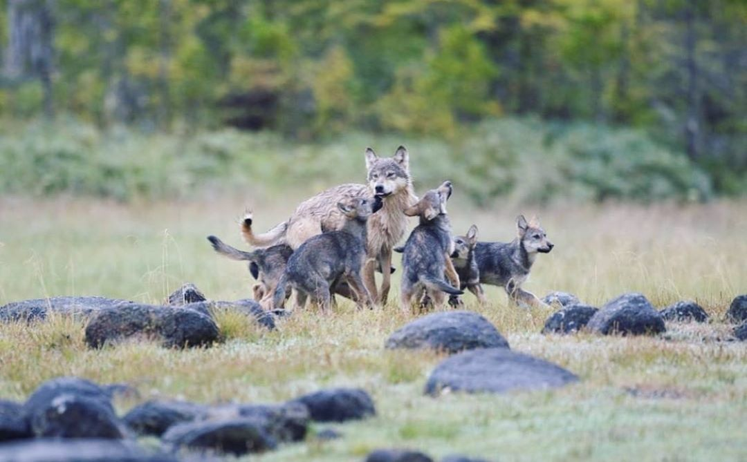 A pack of wolves cluster together in a clearing in the forest